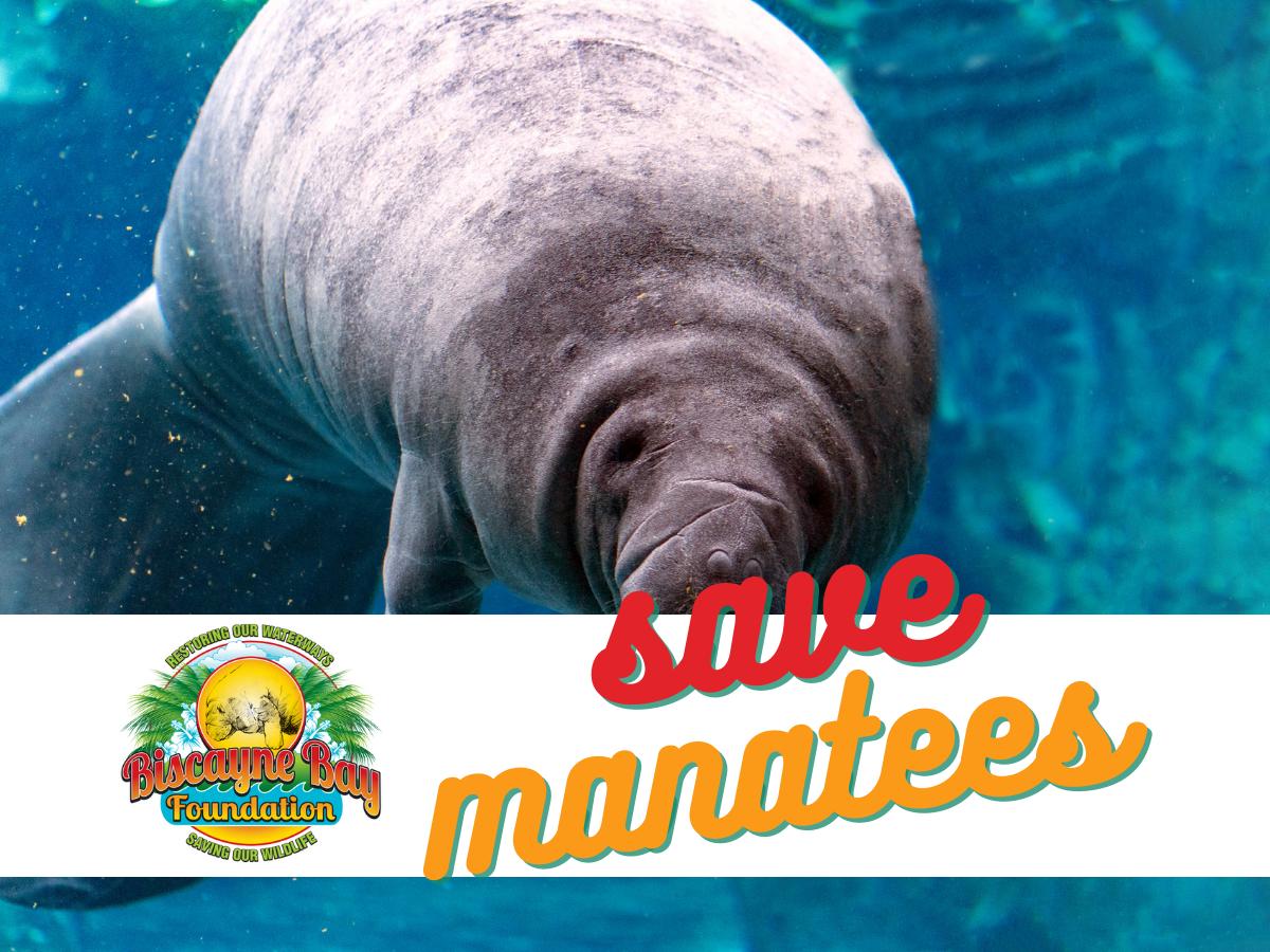 Endangered Florida Manatees